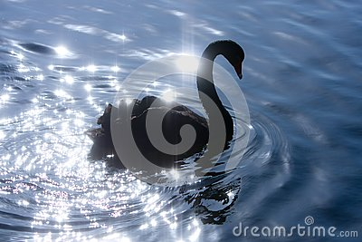 Silhouette of swan on sparkle water.