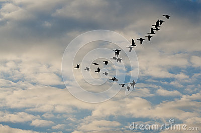 Silhouetted Geese Flying in a Beautiful Sky