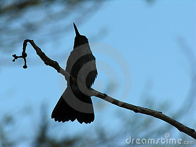 Silhouetted hummingbird