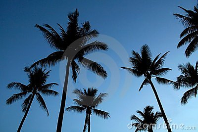 Silhouetted palm trees