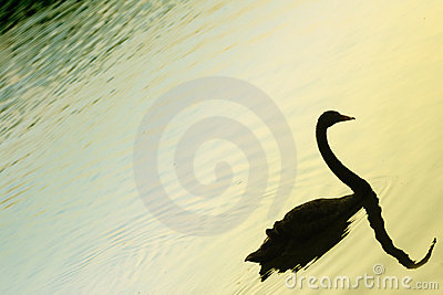 Silhouetted swan on lake