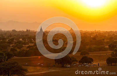 Burmese Herding at Sunset in Bagan Editorial Photography