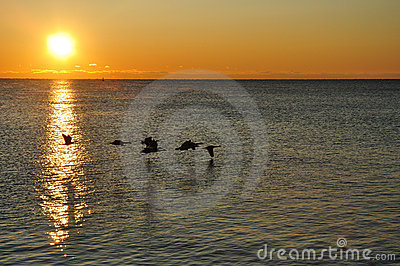 Silhouettes of Canadian Geese Flying at Sunrise