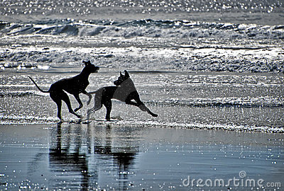 Silhouettes of Dogs on a Beach
