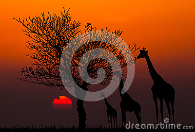 Silhouettes of Giraffes and dead tree