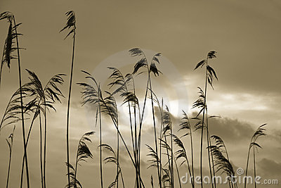 Silhouettes of reed plants