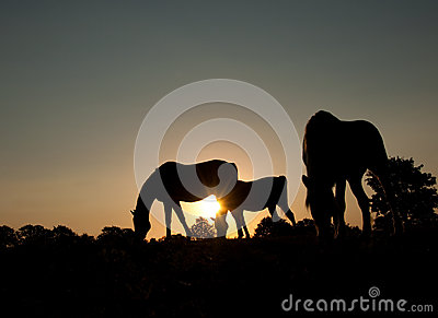Silhouettes of three grazing horses