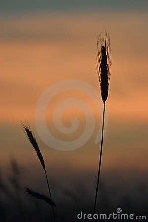 Silhouettes of wheat-ears