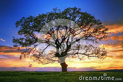 Silhueta grande no campo, tiro da árvore do por do sol