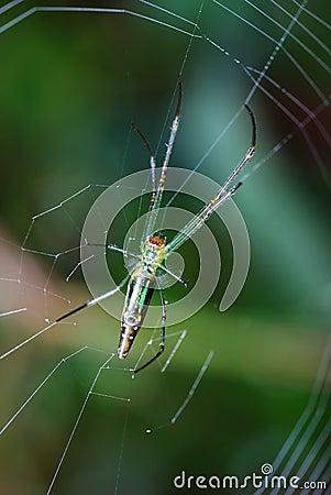 Silk Orb Weaver Spider