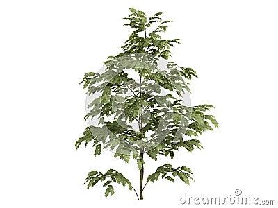 Silk_tree_(Albizzia)
