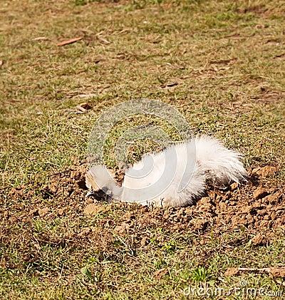 Silkie bantam hen in dirt bath, organic lifestyle