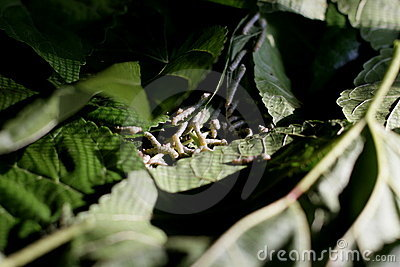 Silkworm larvae