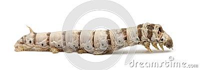 Silkworm larvae, Bombyx mori