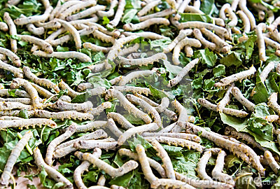 Silkworm on mulberry leave