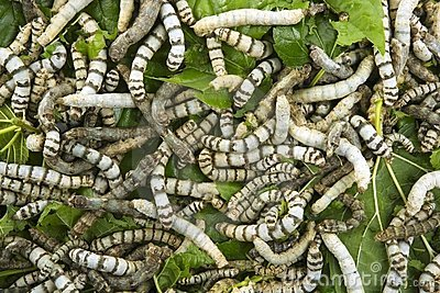 Silkworms eating mulberry leaf closeup