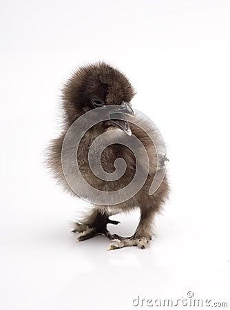 Silky Bantam Chick Chicken