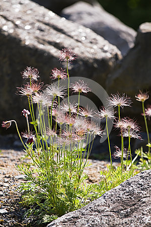 Free Silky Seed Heads On Pasque Flowers Stock Images - 31373494