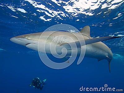 Silky shark and diver, Jardin de la Reina, Cuba.