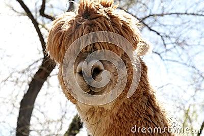 Silly Alpaca