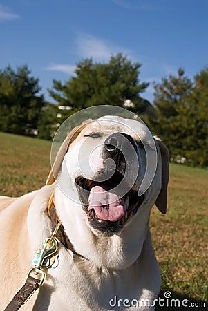 Silly labrador mixed breed dog