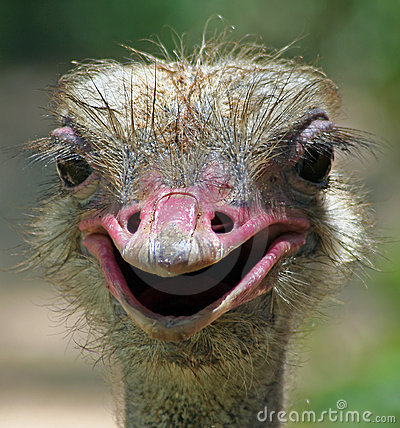 Free Silly Ostrich Stock Photo - 1229510