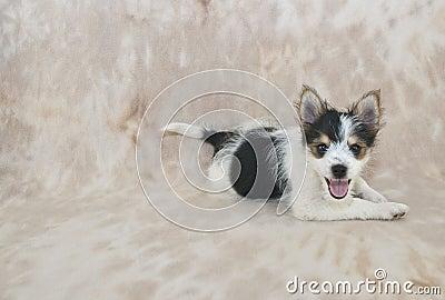 Silly Yorkie Pom Mix Puppy