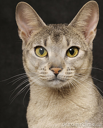 Abyssinian | Free pictures of kittens and cats