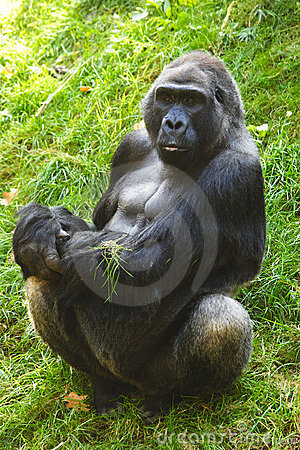 Free Silver Back Gorilla Stock Photo - 1381230