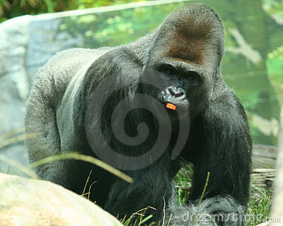 A Silver Back Gorilla with a Piece of Carrot