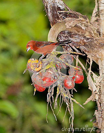 Silver-beaked Tanager with fruit