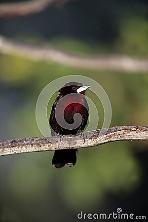 Silver-beaked tanager, Ramphocelus carbo