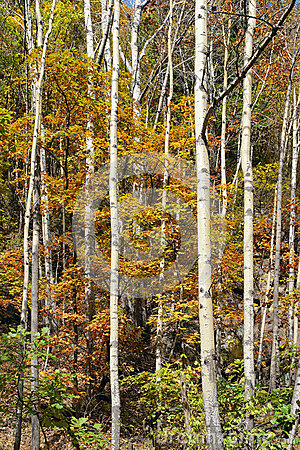 Free Silver Birch Royalty Free Stock Images - 45480729