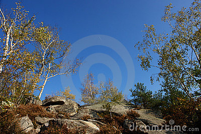Silver birch in fontainebleau forest