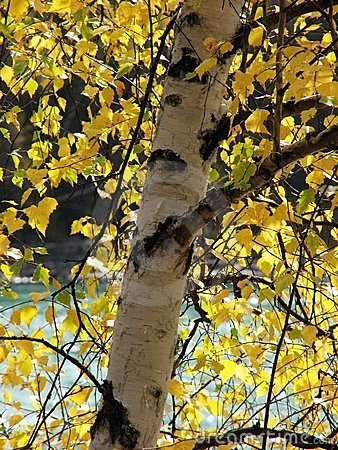 Free Silver Birch In Fall Royalty Free Stock Image - 3590196