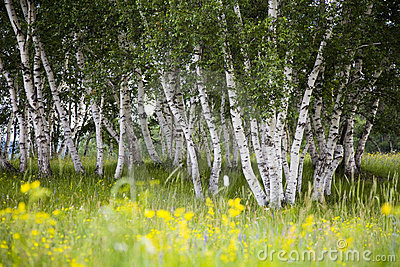 Silver birches and flowers