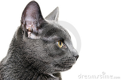 Silver cat on white background