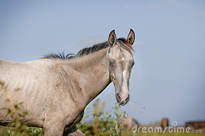 Silver dun akhal-teke foal