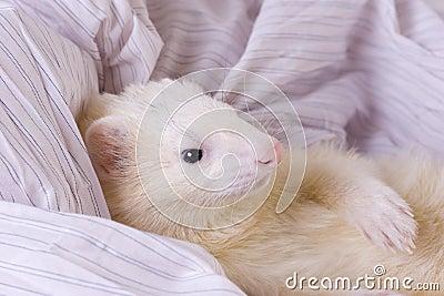 Silver the Ferret
