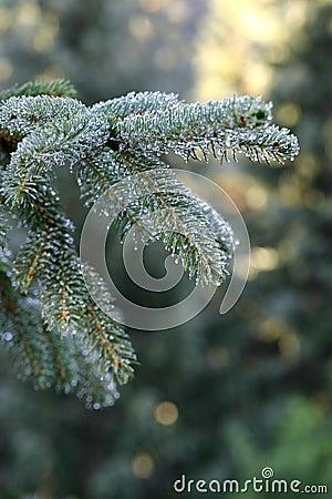 Silver fir drops