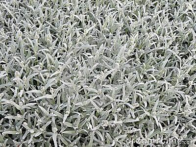 Silver foliage
