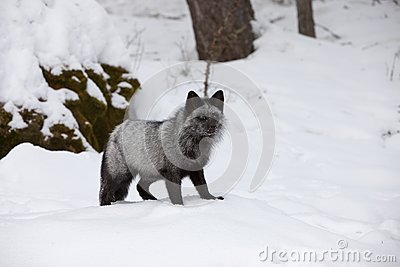 Silver Fox in Snow