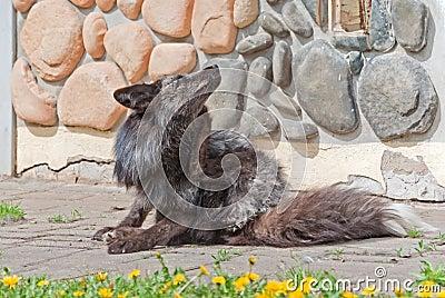 A silver fox scratches itself