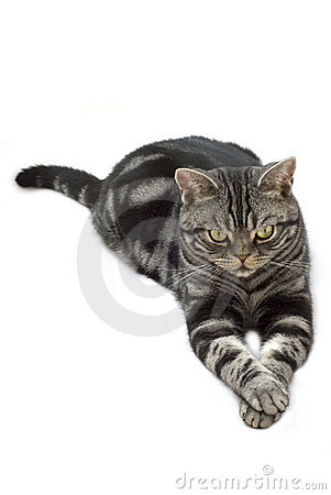 Free Silver Grey Tabby Cat Stock Photography - 6231212