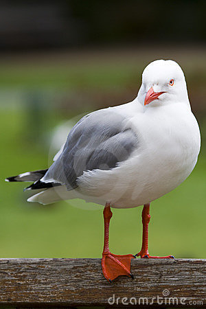 Silver Gull (Larus novaehollandiae)