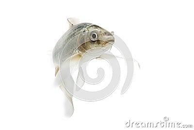 Silver Koi Fish