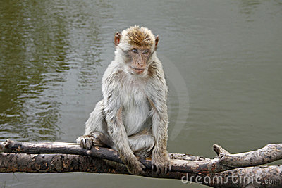 Silver Monkey I