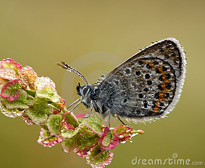 Silver Studded Blue Butterfly with morning dawn re