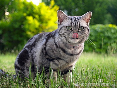 Silver tabby cat licking with tongue
