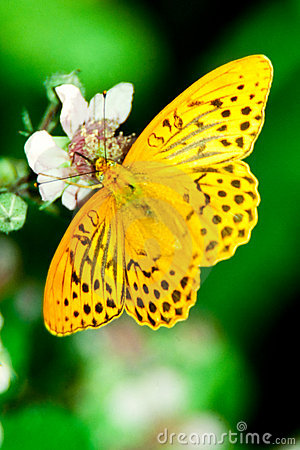 Free Silver Washed Fritilary On Blackberry Blossom Royalty Free Stock Images - 13697369